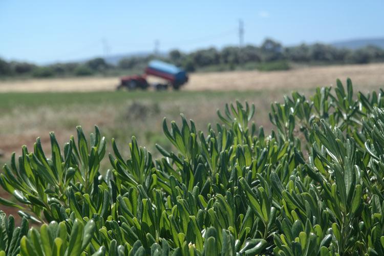 Puglian field